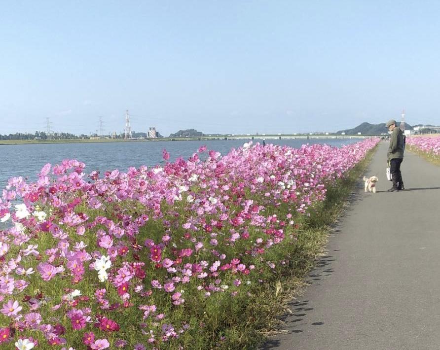 遠賀川沿いのコスモスはもうそろそろ見頃!!!